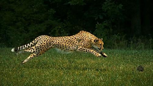 Cheetah Running at 1200 Frames Per Second
